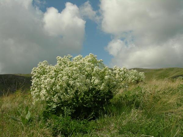 Катран степной, или татарский (Crambe tatarica)