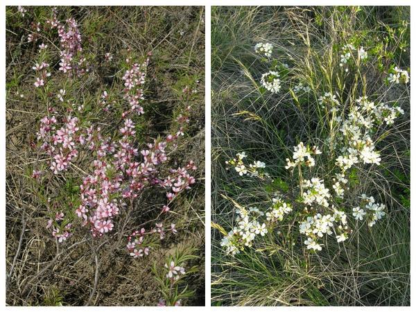 Степные кустарники. Миндаль (Amygdalis nana) - слева и вишня (Cerasus fruticosa) - справа