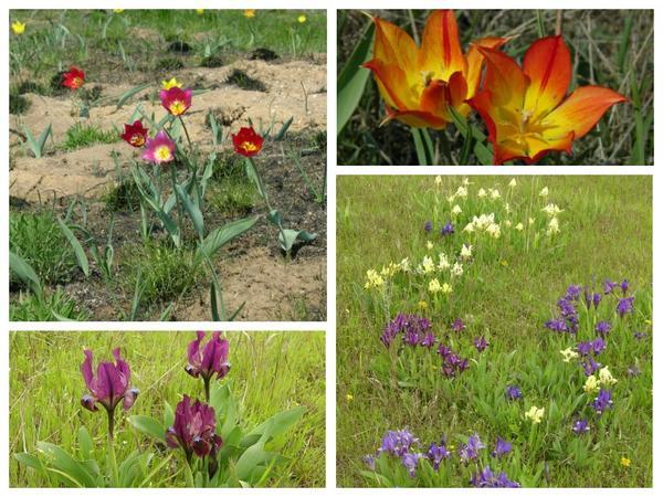 Тюльпаны и карликовые ирисы расцвечивают весеннюю степь