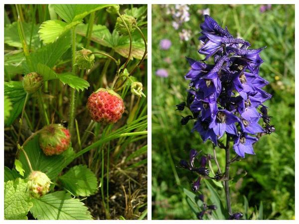 В июне на суходольных склонах поспевает земляника, а в середине лета среди ковылей зацветает живокость