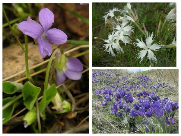 Многие степные виды хорошо знакомы цветоводам