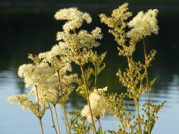 Таволга - один из индикаторов низинного болота