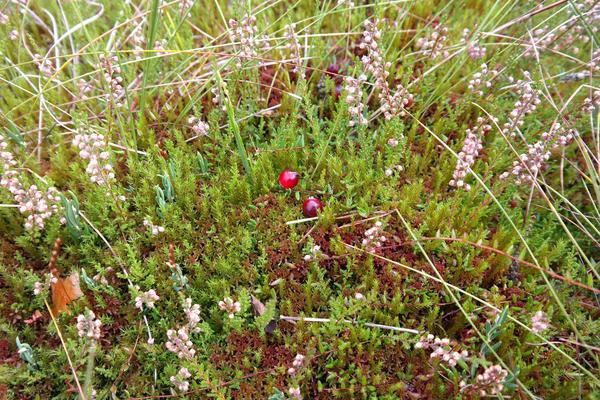 Типичная для верхового болота растительность