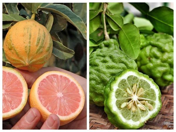 Разнообразие цитрусовых. Лимон Вариегата (слева) и каффир-лайм (справа)