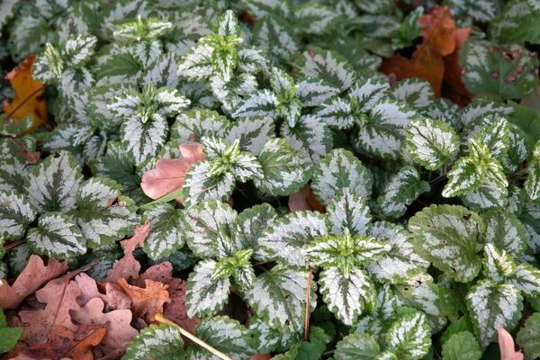 Скромный удел почвопокровных - служить декорацией для проблемных участков сада