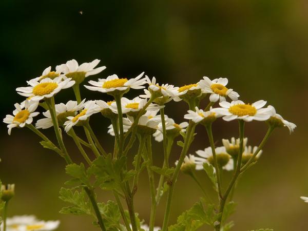 У пиретрума девичьего есть разные садовые формы; привлекательные даже самые простые из них