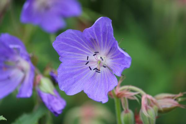 Дикорастущая герань луговая обильно цветет в июне