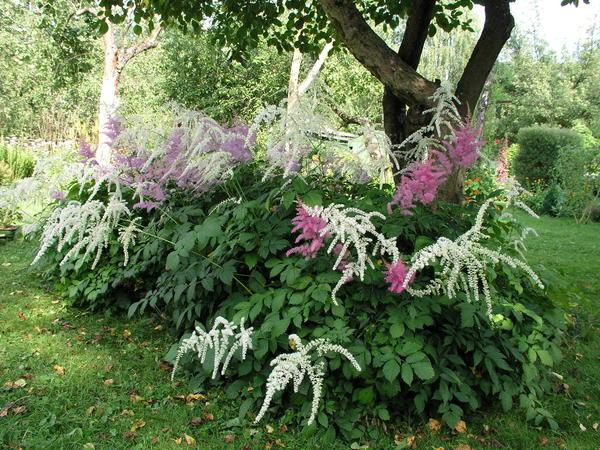 В тени под кронами плодового сада могут разрастаться астильбы