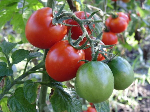 Ранние и ультраранние томаты порадуют урожаем даже без теплиц