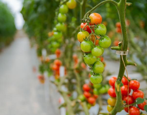 Для теплиц выбирают преимущественно раннеспелые индетерминантные сорта томатов