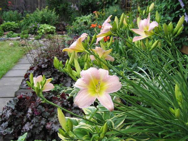 Выбирая лилейники для сада, стоит немного узнать об их особенностях
