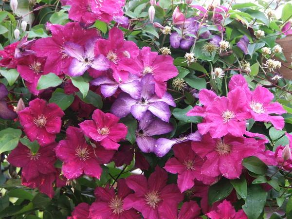 Интенсивность цветения клематисов зависит от нескольких причин
