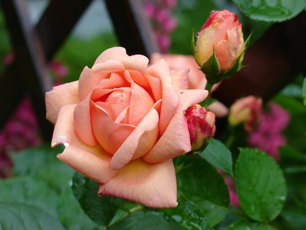 Чего же хочет роза?