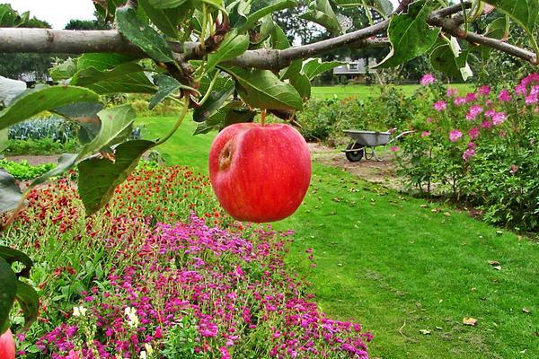 Плодовый сад на даче: за или против? Изображение от Riala на Pixabay