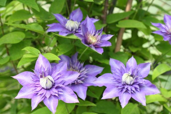 Чтобы клематисы порадовали цветением, необходимо соблюдать правила ухода за ними