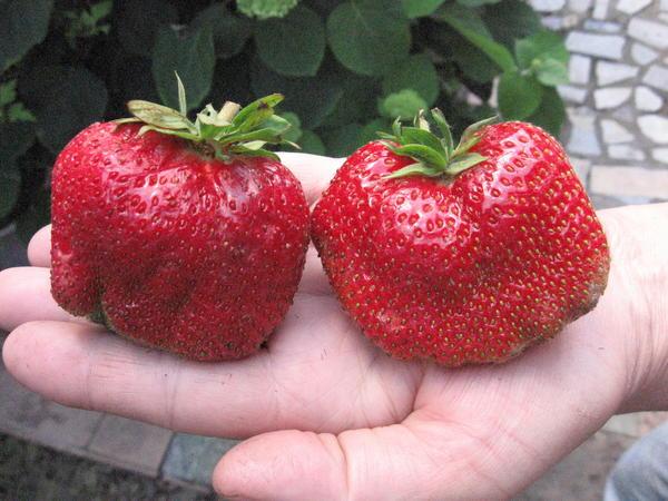 Можно и такие ягоды вырастить!