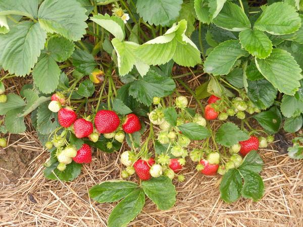 Земляника садовая - ягода, которая всем хорошо знакома