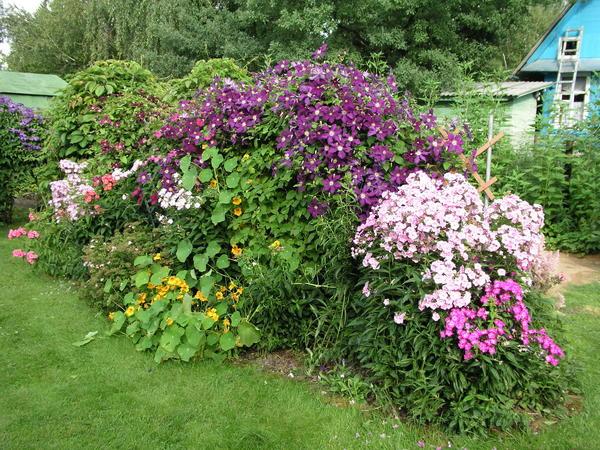 Конкуренция корней растений, растущих по соседству, клематису не страшна