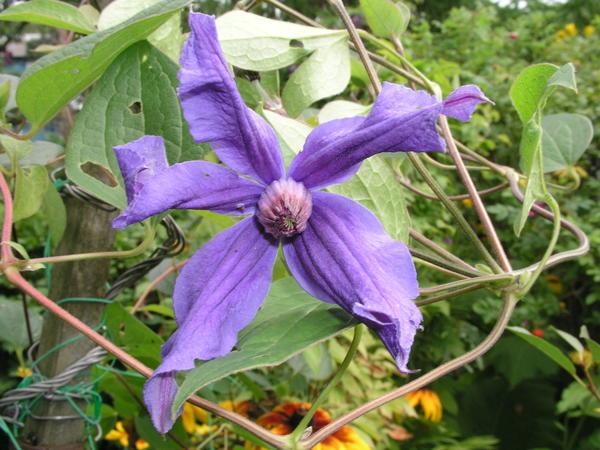 В первый год рекомендуется оставить на растении не более 3-5 бутонов - и то лишь если саженец хорошо развит