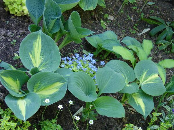 Молодые растения не нуждаются в подкормках в первые 1-3 сезона после посадки