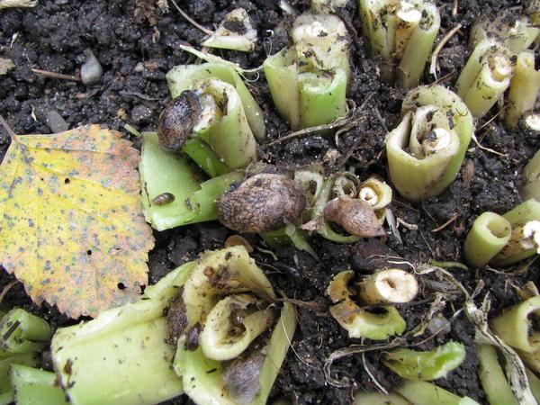 После своевременной осенней обрезки листвы легко удалять главных вредителей хост