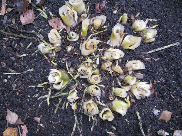 Корневая система взрослого куста, нарастая в верхнем слое почвы, может выходить на её поверхность