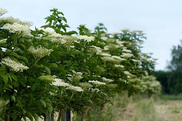 Бузина - привычное растение деревенского сада