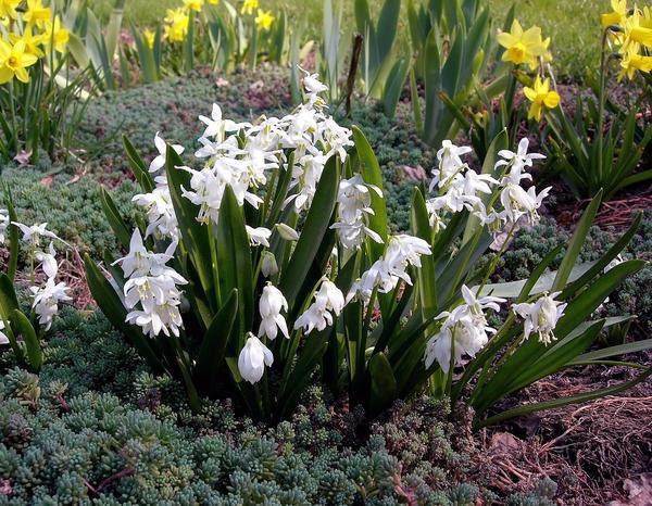 Цветение мелколуковичных возвещает наступление весны