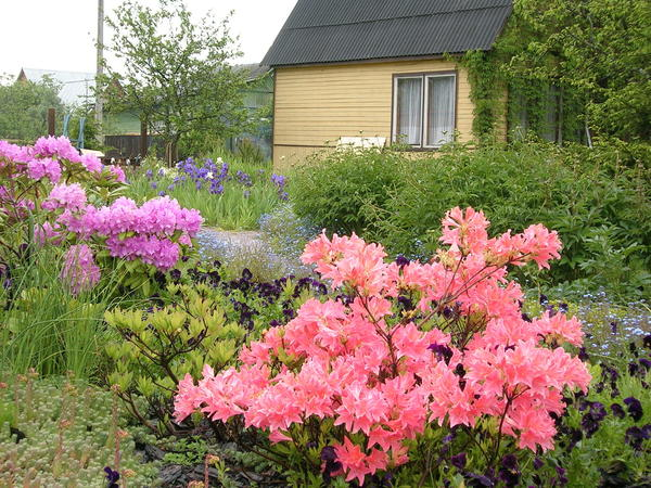 Рододендроны порадуют пышным цветением, если следовать 7 главным правилам