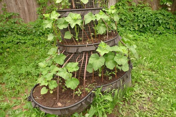 Огурцы стремятся расти вверх - и это минус