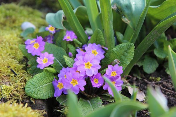 Любоваться цветением примул можно не только весной!