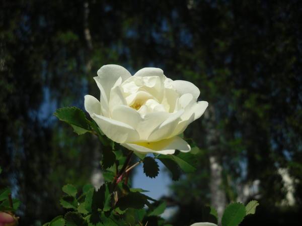 Цветет королева июня