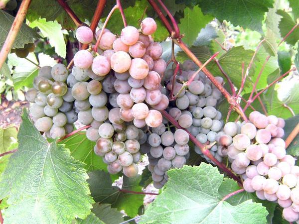 Виноград растет и плодоносит в Ленинградской области. На фото - сорт 'Жемчуг розовый'