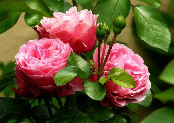 Лето - пора цветения роз