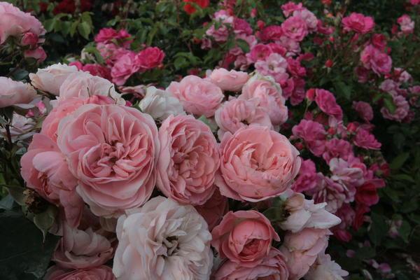 Уже осень, а розы 'Bailando' (Rosen Tantau, 2006) и 'Pink Emely' (W.Kordes' Söhne, 2005, ADR-2003) здоровы