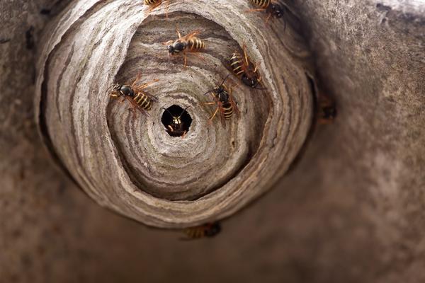 Чтобы избавиться от осиного гнезда без потерь, важно правильно выбрать время