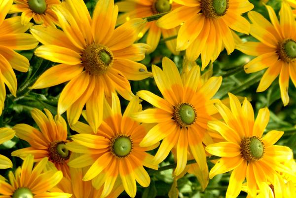 От солнечных рудбекий в саду будто бы становится светлее и теплее