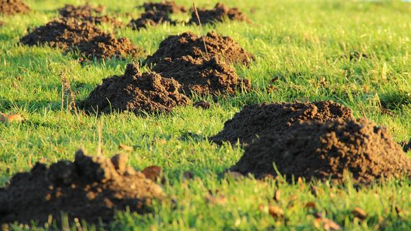 Желающих избавиться от кротовин на газоне при помощи запахов может ждать разочарование