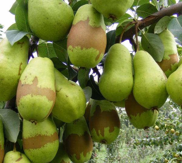 Фото 8. Такие пятна и полосы на плодах - отметины весеннего заморозка