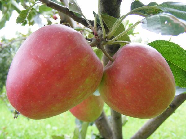 Фото 2. Элитная форма яблони, устойчивая к парше