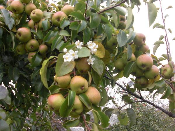 Фото 7. Повторное цветение плодовых культур не бывает массовым и не отражается на будущем урожае