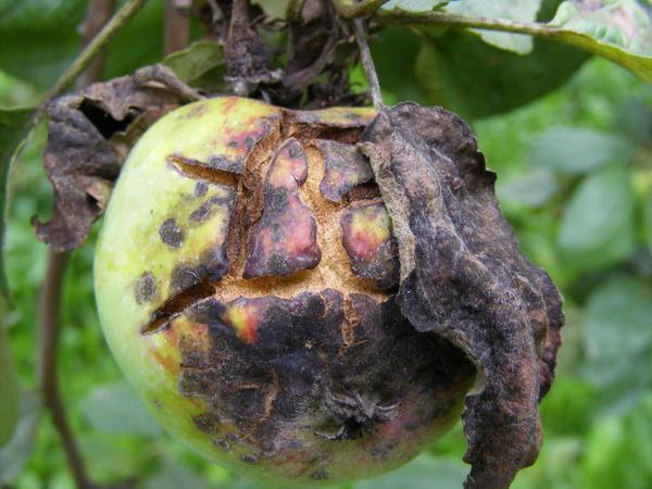 Фото 1. Так выглядит парша яблони