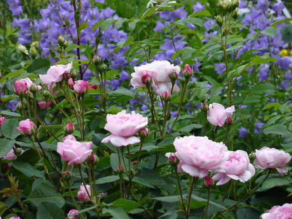 При выращивании роз вопросы возникают и у начинающих, и у опытных цветоводов