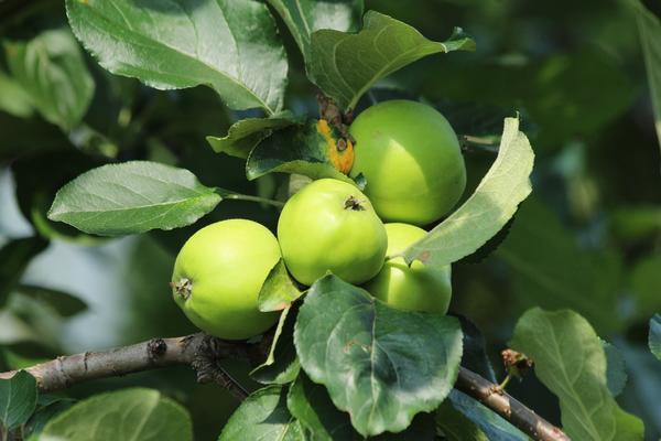 Все меньше и меньше в наших садах становится старых сортов яблони