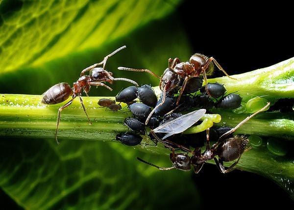 Вывести тлю мало, надо еще и от муравьев избавиться