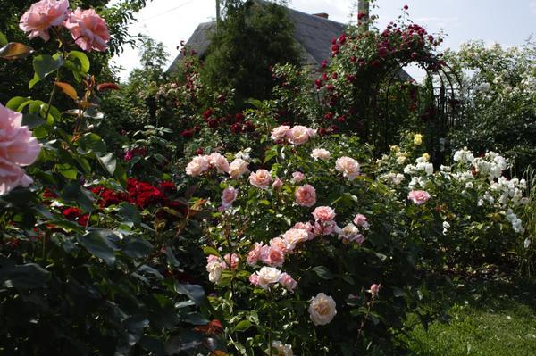 В этом подмосковном саду — культ плетистых роз