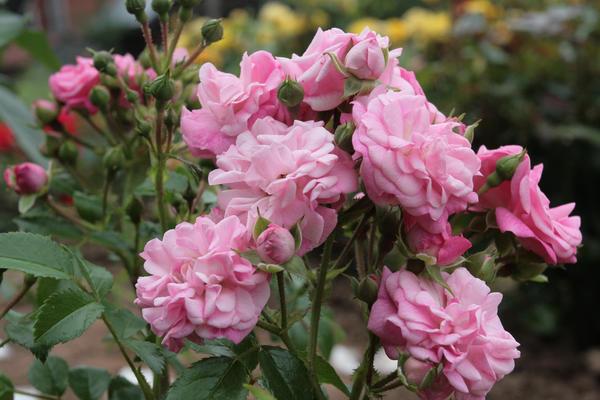 У {amp}amp;amp;amp;amp;amp;amp;amp;amp;amp;amp;amp;amp;#39;Deutsches Rosarium Dortmund{amp}amp;amp;amp;amp;amp;amp;amp;amp;amp;amp;amp;amp;#39; (Noack, 1995) цветки не крупные, но их много, а листва - чистая