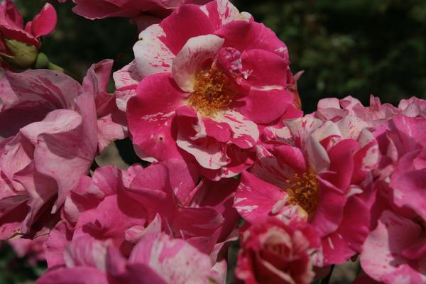 Роза {amp}amp;amp;amp;amp;amp;amp;amp;amp;amp;amp;amp;amp;#39;Twist{amp}amp;amp;amp;amp;amp;amp;amp;amp;amp;amp;amp;amp;#39; (Poulsen 2000) отличается ранним и стойким цветением, но может поражаться черной пятнистостью