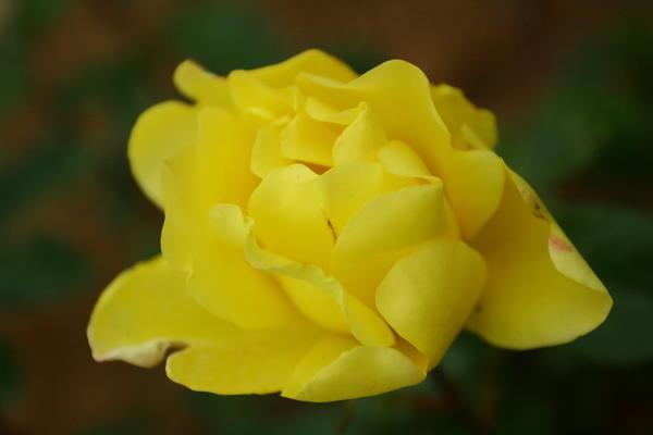 Одна из самых распространенных плетистых роз с желтыми цветками {amp}amp;amp;amp;amp;amp;amp;amp;amp;amp;amp;amp;amp;#39;Golden Showers{amp}amp;amp;amp;amp;amp;amp;amp;amp;amp;amp;amp;amp;#39;