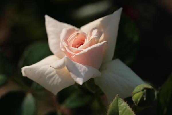 У плетистой розы {amp}amp;amp;amp;amp;amp;amp;amp;amp;amp;amp;amp;amp;#39;Graciosa{amp}amp;amp;amp;amp;amp;amp;amp;amp;amp;amp;amp;amp;#39; (Noack, 2002) элегантные цветки и очень ранние сроки цветения
